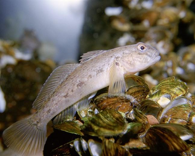 Svartmunnad smörbult är en invasiv art i svenska vatten, men också en utmärkt matfisk. Arkivbild.