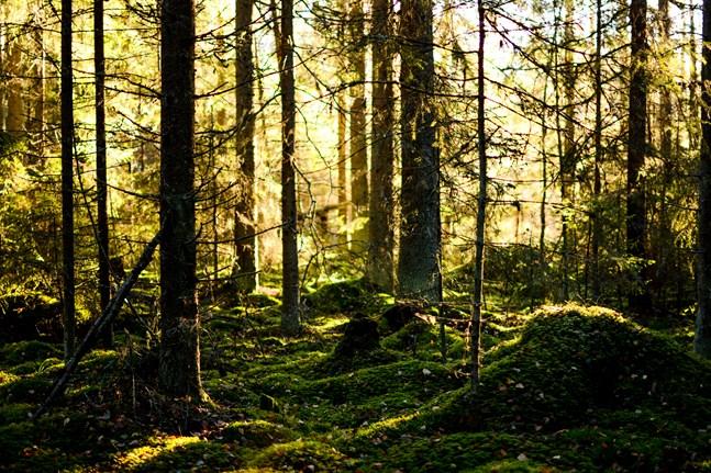 På några decennier har Finlands privata skogsägare åstadkommit en kolsänka som heter duga, en ökning av virkesförrådet från 1 350 miljoner kubikmeter till 2 300 miljoner kubik, skriver Andes Hjortman.
