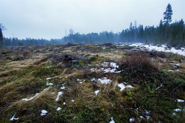 Efter en kalhuggning avger skogsbotten 3-10 ton koldioxid per hektar och år, skriver Daniel Paro.