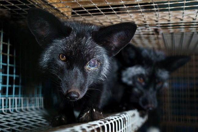 """Brittiska """"The Mirror"""" publicerar bilder på rävar med ögoninflammation, överfeta djur och bilder från smutsiga burar."""