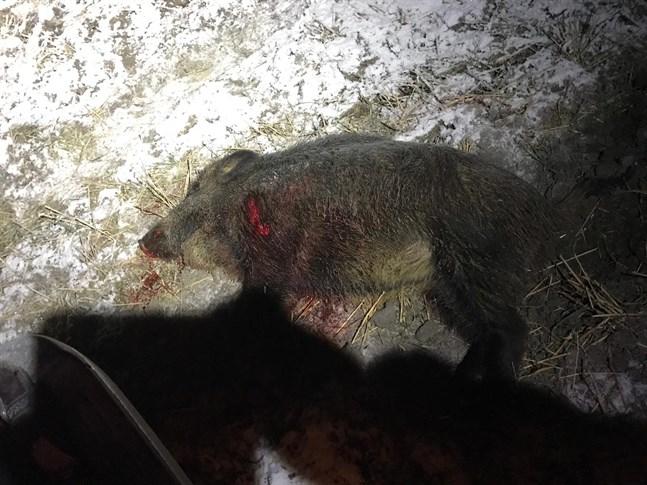 Vildsvin har rört sig i Närpes de senaste dagarna. På tisdagskvällen sköts ett.