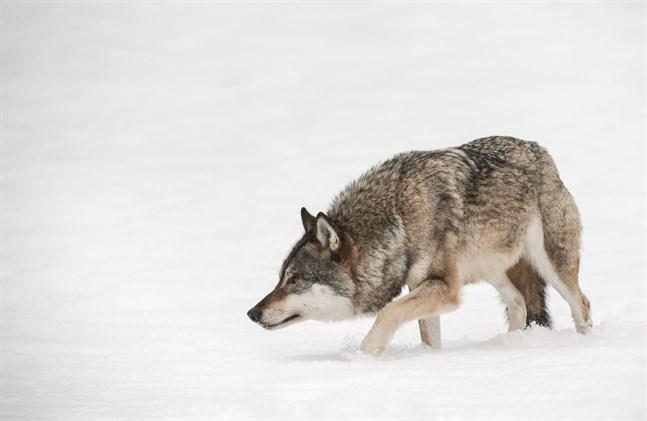 Forskarna hoppas att också jägare deltar i insamlingen av vargspillning.