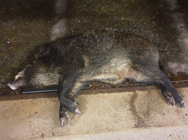 Vildsvinet fälldes i Nämpnäs på onsdag kväll.