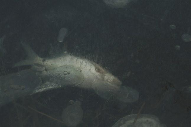 Fiskdöd hotar igen Larsmo-Öjasjön på grund av det sura vattnet i åarna som rinner ut i sjön. Bilden är tagen i januari 2007.