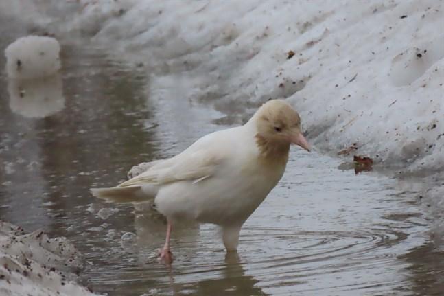 Den vita kråkan i Haapajärvi har en god skyddsfärg så länge snön ligger kvar.