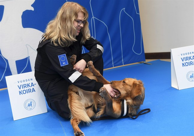 Årets tullhund heter Aino. Vanligtvis jobbar hon med att hitta mat. Här tuggar hon istället på föraren Seija Kontunen.