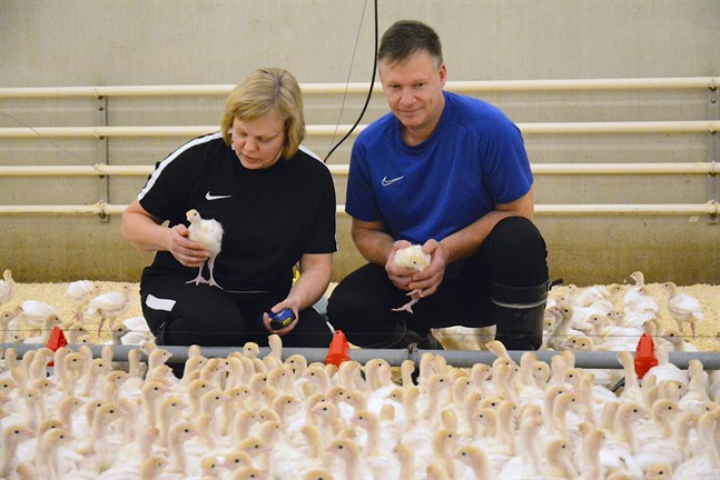Kalkonkycklingarna är nyfikna och samlar sig kring Camilla Wester och Ralf Berg genast de kommer in i huset.