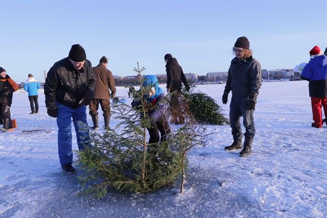 Leimu Kiuru (i mitten) pressar ner julgranen i vaken medan pappa Antti (till höger) tittar på. För dem har det blivit en årlig tradition att sänka julgranen på trettondagen.