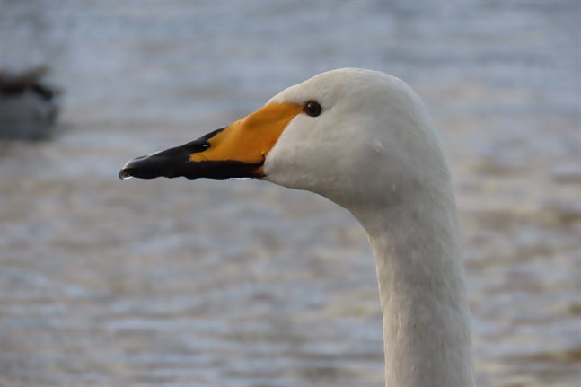 Gammal sångsvan i karakteristisk profil med näbben karakteristiskt färgad i svart och gult.