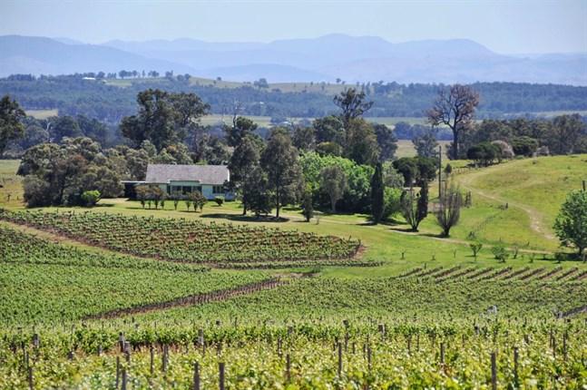 En vingård i Hunter Valley i Australiska New South Wales. Arkivbild.