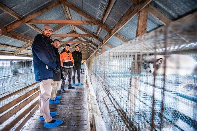 Riksdagsledamot Johan Kvarnström (SDP), SDP:s ombud Nils-Johan Englund och riksdagsledamot Matias Mäkynen (SDP), längst till höger, bekantar sej med ett rävhus på Markus Sjöholms farm.