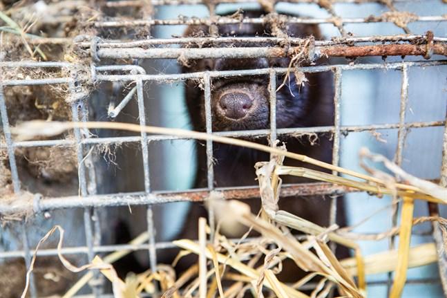 Institutet för hälsa och välfärd rekommenderar att kontakt med pälsdjur ska tas upp när smittspårningen görs för coronasmittade.