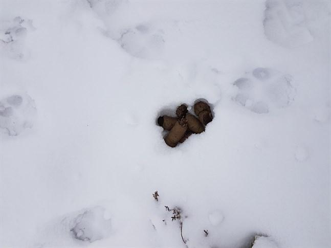 Elva vargar i Närpes kommer att ingå i den officiella statistiken över vargstammen i Finland 2020. Så många kunde ringas in då jägare räknade spår i söndags. Den här bilden av vargspår och spillning är tagen i östra Övermark vid ett annat tillfälle. Så här mycket snö var det inte i söndags.
