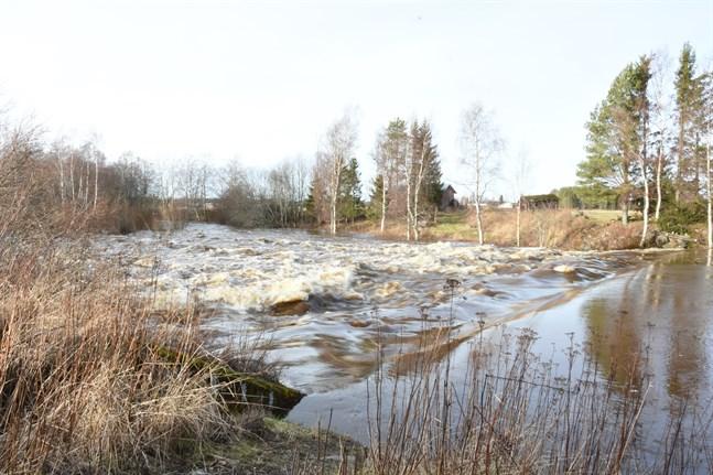Vattenflödet vid Allmänningsforsen i Närpes å har ökat från 10 till 100 kubikmeter per sekund.