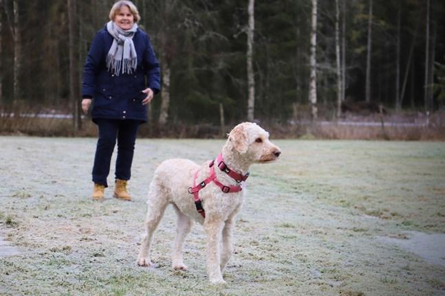 Maj-Lis Isojoki har en stor inhägnad på gården är hundarna kan få springa fritt. Nu var det labradoodlen Goldies tur att vara ute.