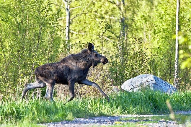 Företaget Joupin Meklari har köpt viltkött i huvudsak från Estland. Köttet har märkts som inhemskt och har hanterats i lokaler som saknar tillstånd.