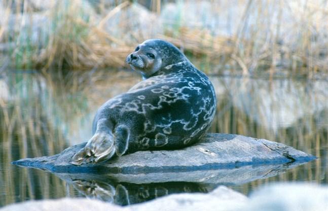 Den snöfattiga och milda vintern har påverkar saimenvikarens förökning negativt.