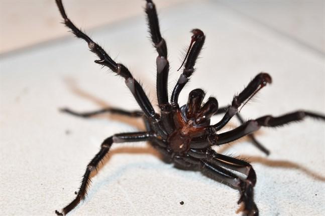 Det är vanligare än vad många tror med trattminörspindlar i Sydneybors trädgårdar, enligt Kane Christensen. Men spindlarna är skygga, och håller sig oftast gömda.