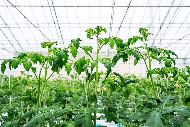 Många hoppas hitta jobb i växthus och på frilandsodlingar nu när sommarjobben är få i många andra branscher. Men många jordbrukare avvaktar med rekryteringen tills man ser hur det blir med de utländska säsongsarbetarna.