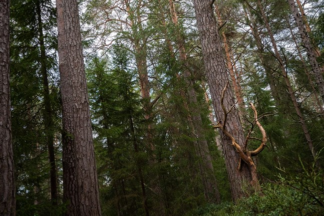 Skogsägande kan kännas som ett mer stabilt val av investering just nu. I Nykarleby har det funnits ett ökat intresse för att köpa skog.