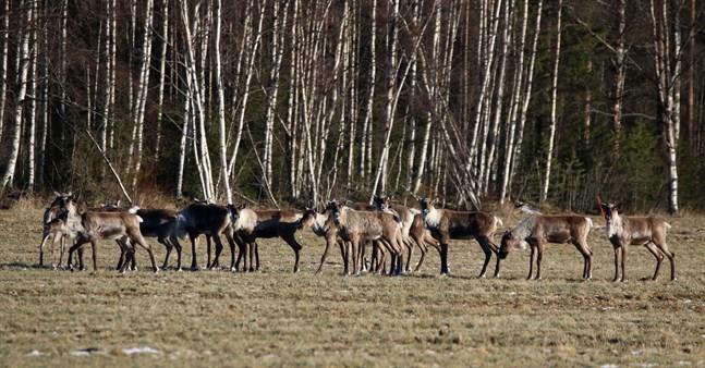 Skogsrenen har i vinter hittat också till de västra delarna av Kronoby.