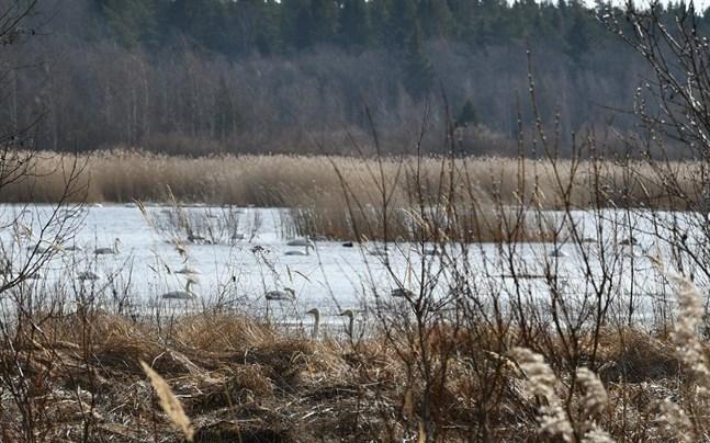 Sångsvanarna på Norrfjärden drar blickarna till sig. En del rastar på väg norrut medan andra hittar häckningsplats i skärgården.