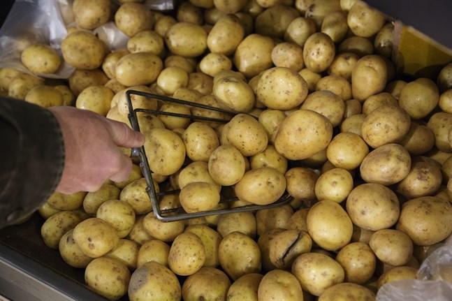 Potatis, som man kan göra patat av. Arkivbild.