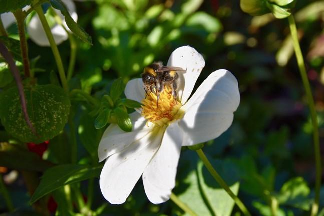 Bin och andra pollinerande insekter minskar i världen som en följd av klimatförändringen och urbaniseringen.