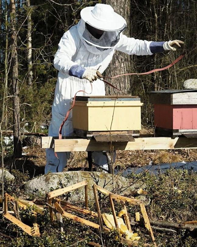 Biodlaren Marc Bock sätter remmar runt bikuporna för att förhindra björnens aptit.
