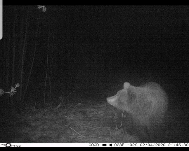 Ett foto taget av en björn i Purmo den andra april klockan 21.45. Kan vara samma honungsbjörn som ätit mängder av honung hos Marcs gård?