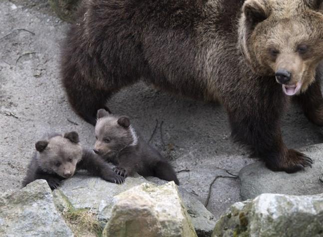 Fem stycken björnungar på Skansen har börjat komma ut ur sitt bo i björnhägnet för att upptäcka världen. Det var i början av januari som björnmamman Lill Babs fick en kull med hela fem ungar som nu kan ses av besökarna.