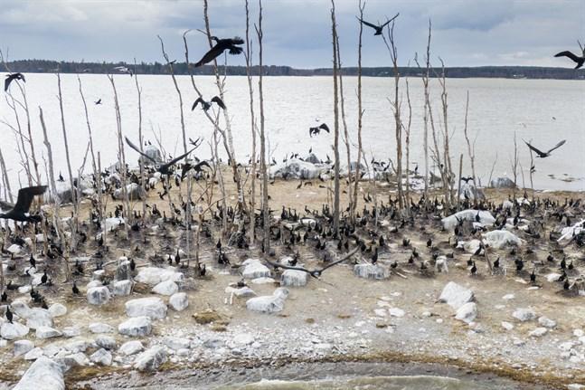 Det enda som behövs är att man stiftar en lag som säger att en art, som inom Finlands gränser har ett individantal som överstiger 10 000 stycken, inte kan omfattas av någon typ av skyddsregel. Ett sådant beslut löser alla de problem som uppkommit i naturskyddsfrågor där några få egenutnämnda experter getts monopol på ärendena, skriver Lassas. Skarvarna på Juckasgrynnan i Vasa är fotade i april.