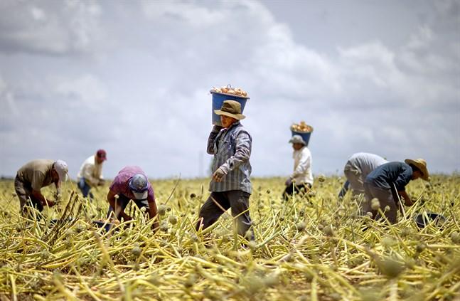 Migrantarbetare skördar lök i Georgia, USA. Nu har landets lantarbetare – inklusive de papperslösa – bedömts som samhällsviktiga. Arkivbild.