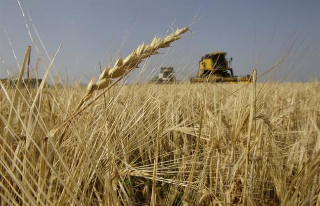 Kornbönder i Australien drabbas av Kinas nya strafftullar. Arkivbild.