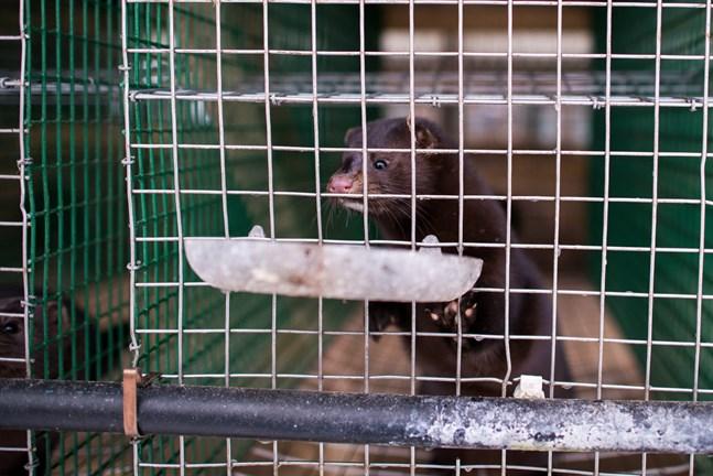 Ett nytt fall där en anställd på en minkfarm i Nederländerna tros ha blivit smittad med coronaviruset av en mink. Arkivbild.