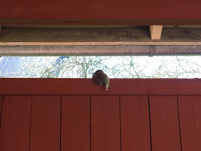 Råtta på staket. Bilden är inte från Karleby.