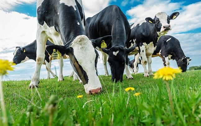 Mjölkproduktionen anses ofta som en av hörnstenarna i det finländska lantbruket. Men produktionen kan inte öka okontrollerat – nu inför Valio begräsningar.