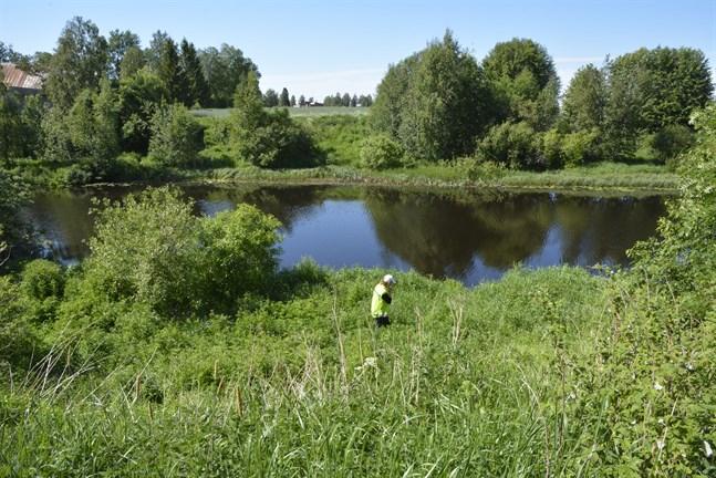 Elsa Österåker inledde jakten på invasiva arter längs Närpes å i juni. Terrängen gör att en sökning längs hela ån skulle kräva mer resurser.