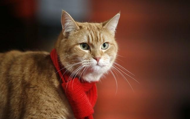 """Bob the cat när han anlände till premiären av filmen """"A street cat named Bob"""" i London."""