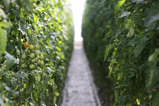 Jag försäkrar att man lugnt kan fortsätta äta inhemska tomater och gurkor, skriver Närpes fullmäktigaordförande Johanna Borg.