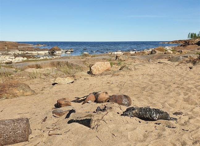 I brist på grillplatser eldar besökare direkt på stranden vid Fäboda. Aska och halvbrunna vedträn lämnas kvar.