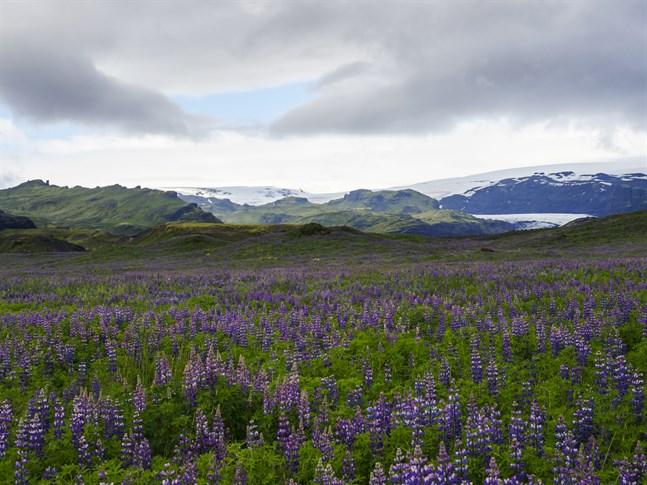 Lupinen har blivit ett dominerande inslag i landskapet också på stora delar av Island, där den har både för- och nackdelar.