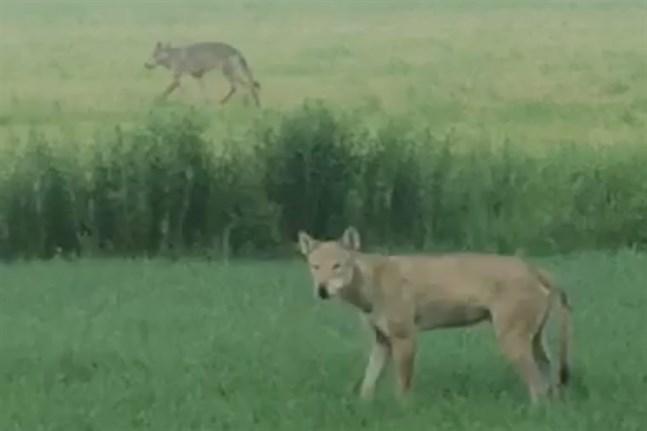 Matias Engelqvist filmade två vargar från traktorhytten i Kalax tidigt på midsommaraftons morgon.