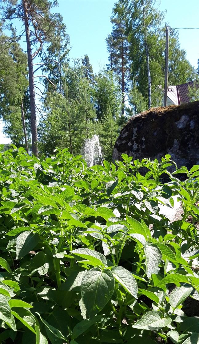 Potatislandet har mått gott av uppdämd karantänenergi och komposterad hästgödsel.
