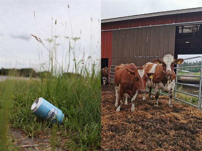 Tomburkar kan leda till en plågsam död för kor.Aluminiumburkarna som slängs längs vägkanten förs lätt med vinden till åkrar.