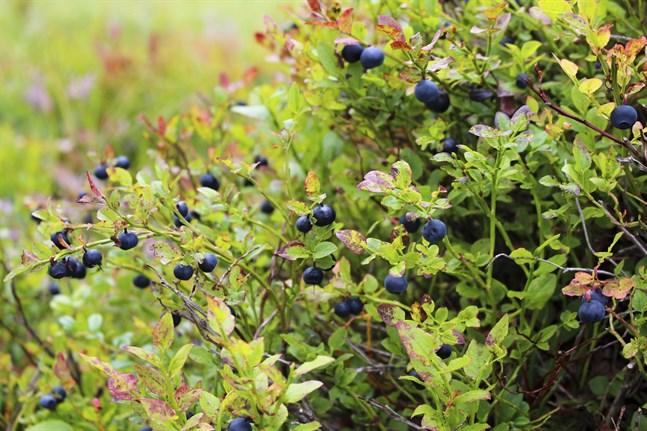 Det kan bli en god blåbärsskörd i år.
