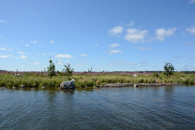 Storgrynnan i Pjelaxfjärden är grön igen efter tre skarvfria somrar.