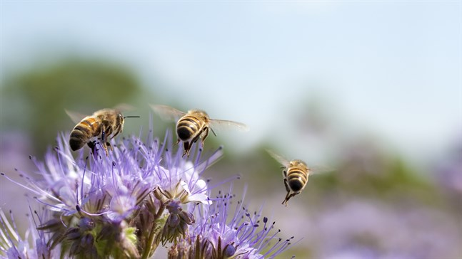 Pollenrika växter gör stor skillnad för trädgårdens pollinatörer.