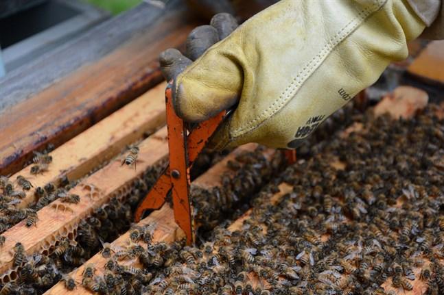 Bin, humlor och fjärilar är Finlands viktigaste pollinatörer, men de vilda pollinatörerna minskar i antal.