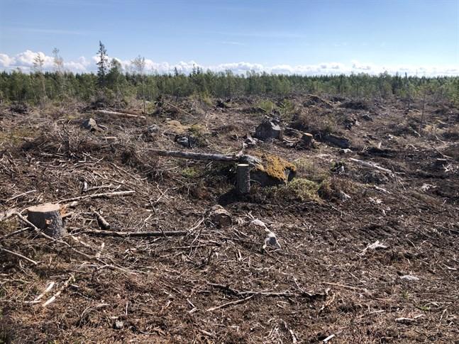 På Replotlandet där ett nytt örnbo upptäcktes i fjol fanns bara ett kalhygge kvar när boet skulle kontrolleras i år. Trots att trädet var skyddat enligt lag avverkades det i december.